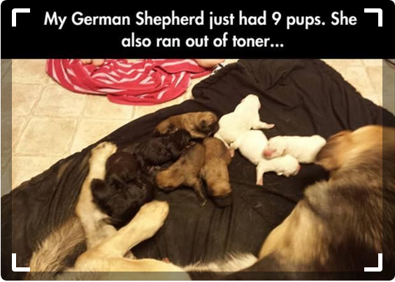 German Shepherd had 9 pups
